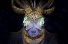 Uma exótica lula nativa do litoral da Austrália e Nova Zelândia - fotos da National Geographic 2016