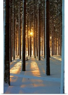 Poster Print Wall Art Print entitled Pine trees with snowy landscape at sunset in winter., None