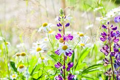 by Ann-Kristina Al-Zalimi, summer, summer flower, wild flower, skandinavia, wildflower, sunshine, sunny, niitty, niittykukat, kukka, kesä, sommar, skandinavia, happy, meadow, fine art photography