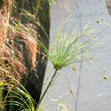 Papyrus frond