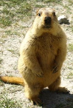 The Himalayan Marmot 9 Marmots You Should Be Aware Of Baby Animals, Funny Animals, Cute Animals, Animal Babies, Groundhog Pictures, Giant Squirrel, Capybara, Interesting Animals, Animal 2