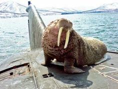 SUBS ~ This walrus fell asleep on a Russian submarine ~ BFD Farm Animals, Cute Animals, Unusual Animals, Funny Animals, Russian Submarine, I Am The Walrus, Nuclear Submarine, In The Zoo, Weird Creatures