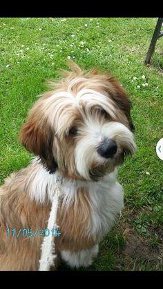 Dunlop tibetan terrier