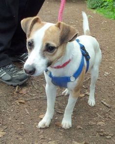 Gizmo – 1-2 year old male Jack Russell Terrier dog for adoption at Animal…