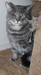 TRUIT is an adoptable Domestic Short Hair Cat in Napa, CA. Truit is a wonderful kitty who happens to have FIV. He was rescued as a feral but is now a love of a kitty. This poor guy must have been ab...