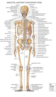 Skeletal Anatomy (Posterior)