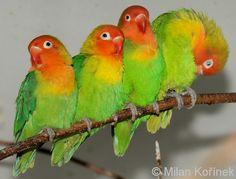 Agapornis lilianae - Lilians Lovebird
