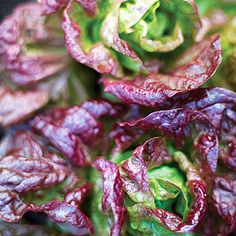 'Marvel of Four Seasons'--growing guide to our favorite heirloom lettuce