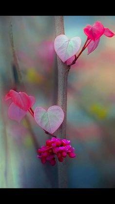 Lovely redbud tree....