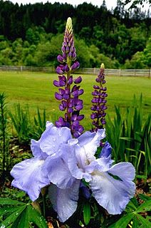 Iris and Lupine - a truly Texas combination