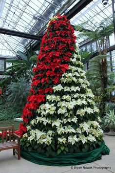 Poinsettia tree at Callaway Gardens in Pine Mountain, GA
