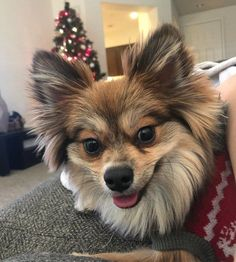 Cute Pomeranian mix dogs are the favorite choice of pets, and there are so many of these mixed breeds to choose so with this article, your search will be a lot easier. Pomeranian Facts, Cute Pomeranian, Pom Dog, Mixed Breed, Large Dogs, Dog Toys, Dog Breeds, Cute Dogs, Dogs And Puppies