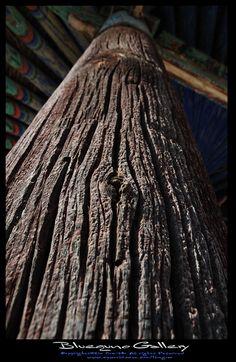 오랜 나무  -운문사