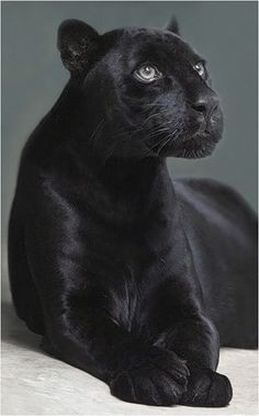 Panther beautiful animals.  I met one in a store   It was a sweetheart  and had very loud purrs