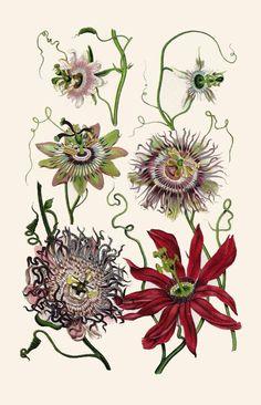 1900s lithograph. Passaflora flowers.
