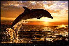 dolphin sunset sea
