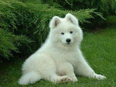 samoyed puppy. BE MINE<3