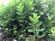 Herb | Mint Forest | XLT Homestead