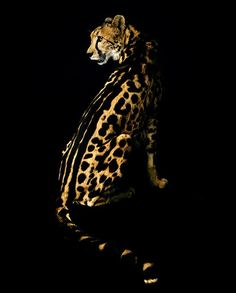 .Such a superb photo of the rare King Cheetah with the stripes along the spine.