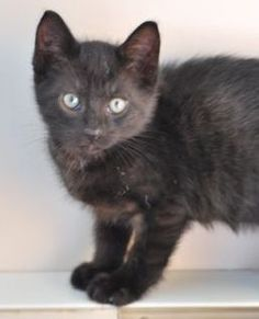 3 mth old Snuggles was shy at first but she loves to be cuddled now and melts into you when you pet her.  She'd do best in a home with older children or pets.  To adopt Snuggles go to www.orphankittenrescue.com