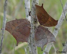 Goatweed butterflies