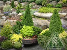 The Amazing World of Conifers Evergreen Container, Evergreen Garden, Conifer Plants, Potted Plants, Japanese Garden Design, Garden Maintenance, Trees And Shrubs, Winter Garden, Garden Inspiration