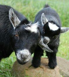 Mum & baby goats........awww...