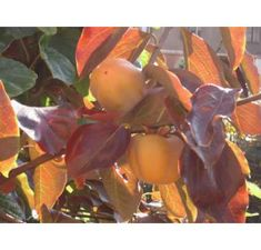 Diospyros virginiana ´Meader´ , Hurmi kaki, kontajnerovaná r. Pear, Fruit, Food, Essen, Meals, Yemek, Eten, Bulb