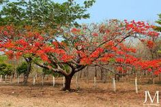 El malinche! One of our favorite trees in Guanacaste