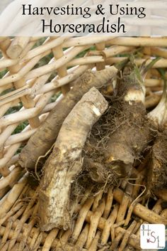 Harvesting and using horseradish for both culinary and medicinal purposes is a quick and easy process that also keeps the plant from taking over the garden.