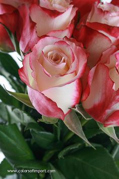 Rosa Sweetness (rose) www.colorsofimport.com