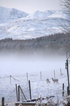 Winter wonderland with deer in a Scottish glen. Our wee trip to snow-capped Ben Lomond today has inspired me!