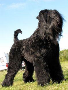 Black Russian Terrier Dog #Dogs #Puppy  #blackrussianterrier