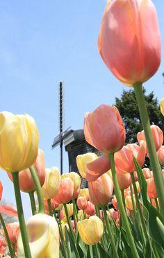 Pella, Iowa tulips