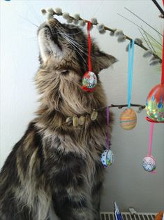 Maine Coon Katze Mystery beschnuppert den Osterbaum Maine Coon, Cat Boarding, Mystery, Creatures, Cats, Style, Maine Coon Cats, Arts And Crafts, Swag