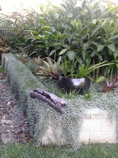 Dicondra 'silver falls', bromeliads, native gardenias, ginger and heleconias... And a pot of hippeastrums