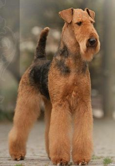 Airedale Terrier, Irish Terrier, Terriers, Terrier Dogs, Pitbull Terrier, Pet Dogs, Dogs And Puppies, Dog Cat, Doggies