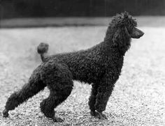 "Poodle ""Bluebell of Piperscroft,"" stackin' like a German shepherd! Love it. Circa 1940. #poodle"