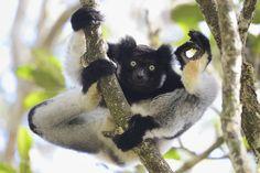 I'm Ok, Analamazaotra Special Reserve, Madagascar By Yamamoto Tsuneo
