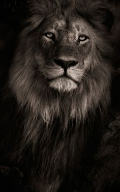 Lion Iphone Wallpaper Background Iphone Wallpaper Backgrounds