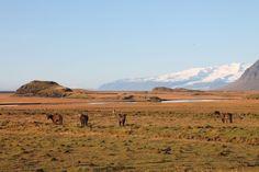 Island Pferde auf Weide