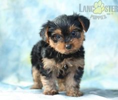 #YorkshireTerrier #Charming #PinterestPuppies #PuppiesOfPinterest #Puppy #Puppies #Pups #Pup #Funloving #Sweet #PuppyLove #Cute #Cuddly #Adorable #ForTheLoveOfADog #MansBestFriend #Animals #Dog #Pet #Pets #ChildrenFriendly #PuppyandChildren #ChildandPuppy #LancasterPuppies www.LancasterPuppies.com Yorkie Puppy For Sale, Puppies For Sale, Puppy Love, Cute Puppies, Small Dog Breeds, Small Dogs, Lancaster Puppies, Mans Best Friend, Best Friends