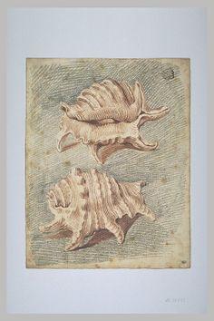 Deux coquillages, de l'espèce appelée : 'Pterocera rugosa' - WATTEAU Antoine