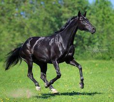 Russian Riding Horse mare Briga