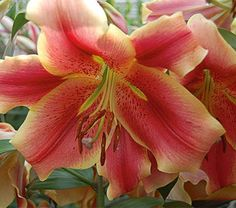 """An unusual and lively combination of bright rosy red petals trimmed with wide creamy yellow margins. The 6"""" fragrant flowers, which face outward with a charming downward pout, have that nice, heavy petal texture typical of Orienpet hybrids.  Orienpets combine the best features of Oriental and Trumpet Lilies—fragrance, large flowers, and sturdy garden performance—but bloom about two weeks earlier than most Orientals. The advantage is an almost continuous sequence of Lily blooms, if you start…"""