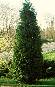Cedar Tree love everything about this tree