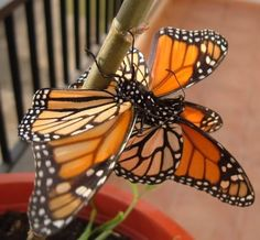 Gay Monarch butterflies and homosexuality in nature