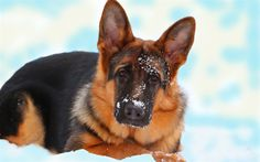Download wallpapers German Shepherd Dog, snow, winter, hunting dog, dogs