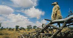"""Suricato monta guarda para que os companheiros de seu grupo possam se alimentar no deserto do Kalahari, África do Sul. A força do pequeno suricato reside na solidariedade, na caça e proteção. A sobrevivência do grupo depende de ficarem juntos e falando sem parar, com 30 chamados diferentes no """"vocabulário"""".  Foto: Mattias Klum / NGC…"""