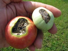Problems In Growing Tomatoes Blossom End Rot has been blamed on a calcium deficiency, but that is a myth. Find out the real cause of Blossom End Rot. Tomato Seedlings, Tomato Plants, Rotten Tomatoes, Growing Tomatoes, Culture Tomate, Tomato Growers, Tomato Farming, Plant Diseases, Tomato Diseases